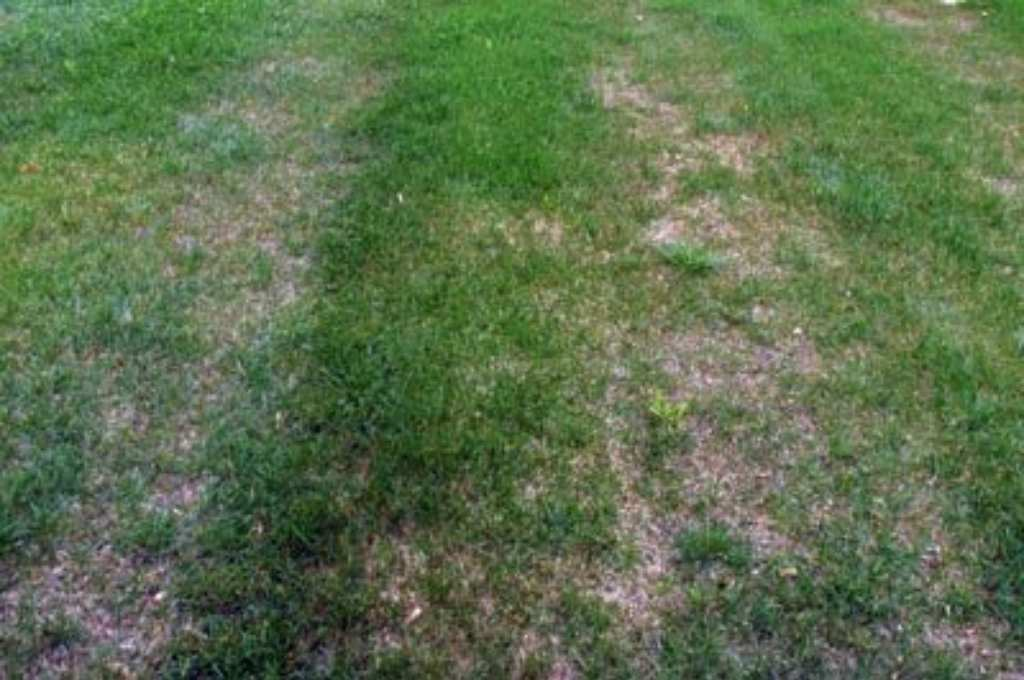 Mower tires have compacted the soil in this lawn. (Photo by Kevin Frank, MSU)